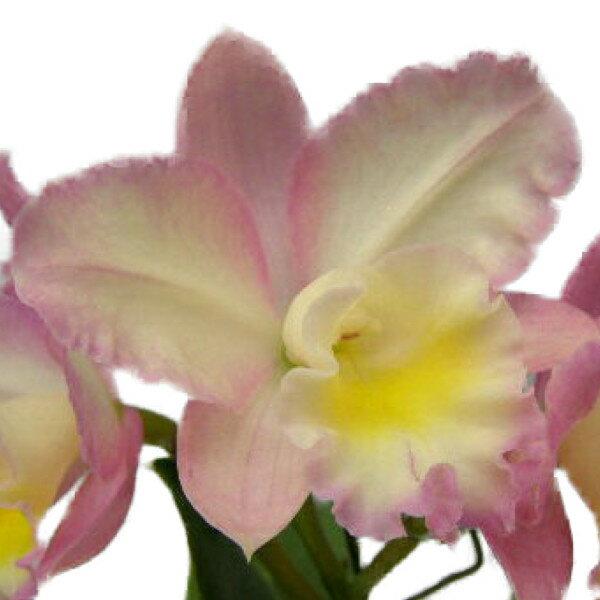 【花なし株】 カトリアンセ フェアリーランド 'ジュディー' Ctt.(Slc.)Fairy Land 'Judy' 交配種 2.5号鉢 25cm 開花サイズ(BS)