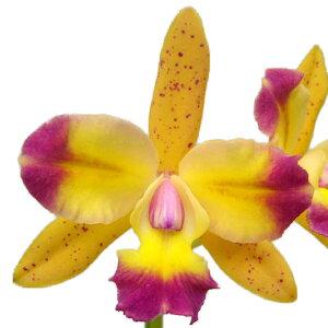 【花なし株】 レリオカトレア トロピカルチップ 'イエローファンタジー' Lc.Tropical Chip 'Yellow Fantasy' 交配種 3号鉢 25cm 開花サイズ(BS)