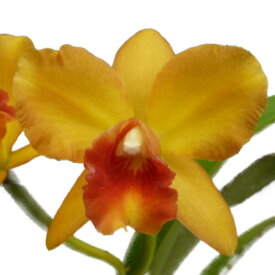 【花なし株】 ポチナラ スウィートシュガー 'オレンジターゲット' Pot.Sweet Sugar 'Orange Target' 交配種 3号鉢 25cm 開花サイズ(BS)