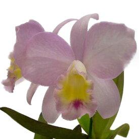 【花なし株】 ソフロカトレア フェアリーランド 'アン' Sc.Fairy Land 'Ann' 交配種 3号鉢 25cm 開花サイズ(BS)