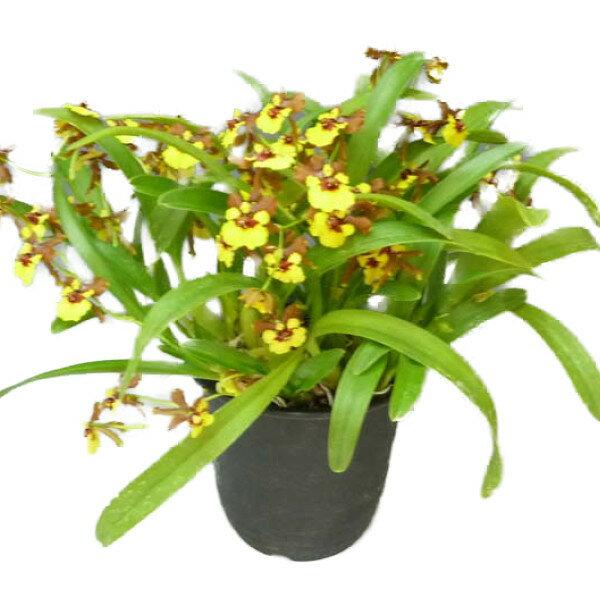 【花なし株】 オンシジューム クロエサス Onc.croesus 原種 3.5号鉢 25cm 開花サイズ(BS)大株
