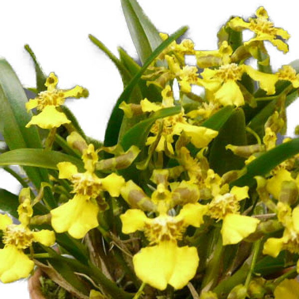 【花なし株】 オンシジューム ロンギペス Onc.longipes 原種 2.5号鉢 20cm 開花サイズ(BS)