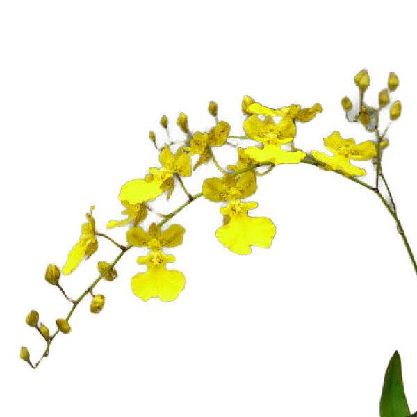 【花なし株】 オンシジューム リトルエンジェル Onc.Little Angel 交配種 2.5号鉢 10cm 開花サイズ(BS)