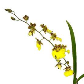 【花なし株】 オンシジューム ジュンバオゴールド 'タイナン' Onc.Jumbao Gold 'Tainan' 交配種 3号鉢 25cm 開花サイズ(BS)