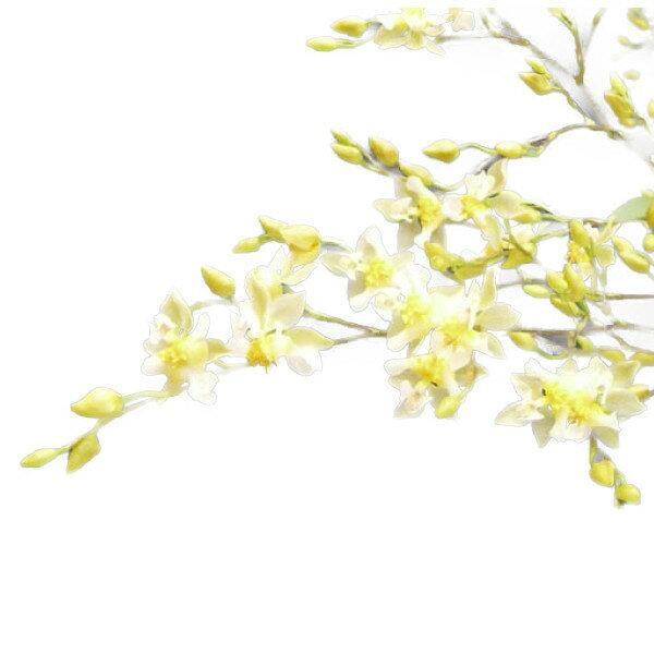 【花付き株】 オンシジューム トゥインクル 'フレグランスファンタジー' Onc.Twinkle 'Fragrance Fantasy' 交配種 3号鉢 30cm 開花サイズ(BS)