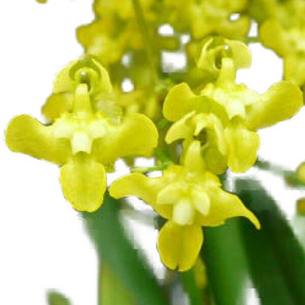 【花なし株】 オンシジューム ケイロフォルム Onc.cheirophorum 原種 芳香あり 2.5号鉢 20cm 開花サイズ(BS)