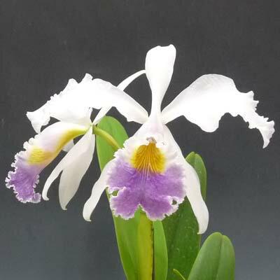 カトレア ラベライスC.Rabelais (C.Dupreana x C.gaskelliana)【花なし株】