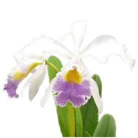 【花なし株】 カトレア ラベライス C.Rabelais (C.Dupreana x C.gaskelliana) 交配種 3.5号鉢 30cm 開花サイズ(BS)