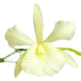 【花なし株】 ブロートニア サンギネア オーレア Bro.sanguinea var. aurea 原種 3号鉢 25cm 開花サイズ(BS)