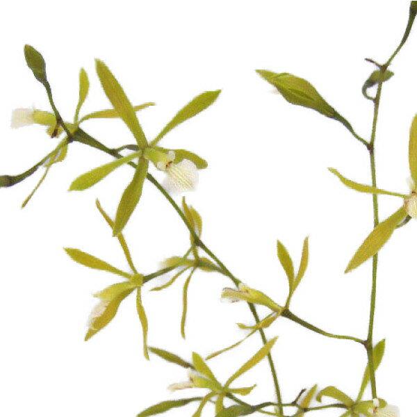 【花なし株】 エンサイクリア オンシディオイデス Ency.oncidioides 原種 2.5号鉢 15cm 開花サイズ(BS)