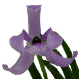 【花なし株】 レプトテス ビカラー ピンク Lpts.bicolor (Pink) 原種 2号鉢 10cm 開花サイズ(BS)
