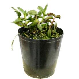 【花なし株】 エピデンドラム ポーパックス レッド Epi.porpax (RED) 原種 2.5号鉢 10cm 開花サイズ(BS)