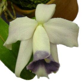 【花なし株】 レリア プミラ セルレア L.pumila var. coerulea 2010/05/19品切れ、オークションに転用 原種 2.5号鉢 20cm 開花サイズ(BS)