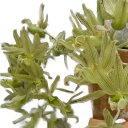【花なし株】 クロウェシア ドドソニアナ Clowesia dodosoniana 原種 3.5号鉢 20cm 開花サイズ(BS)
