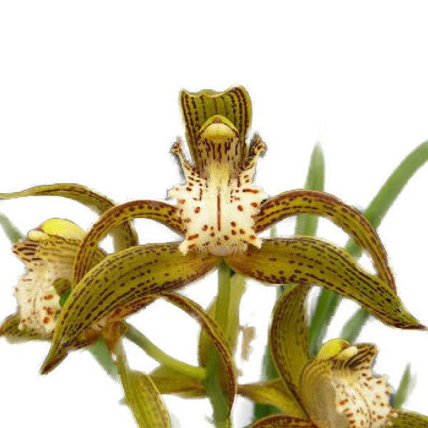 【花なし株】 シンビジューム トラシアナム Cym.tracyanum 4倍体(4N)2.5号鉢 小サイズ 原種 芳香あり 2.5号鉢 15cm 2作開花サイズ(2BS)