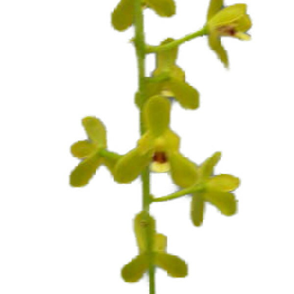 【花なし株】 シンビジューム マディダム Cym.madidum 原種 芳香あり 5号鉢 80cm 開花サイズ(BS)