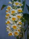 デンドロビューム シルシフローラムDen.thyrsiflorum【花なし株】【耐寒性】【原種】【中サイズ 2.5号鉢】