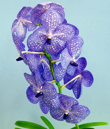 バンダ トーキョーブルーV.Tokyo Blue (Chindavat x coerulea)【花なし株】