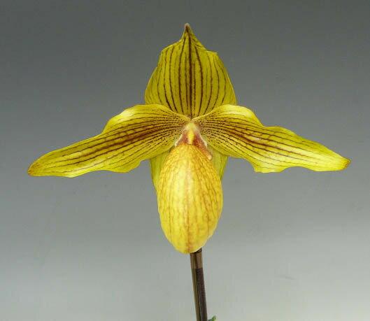 パフィオペディラム ドルゴルディーPaph.Dollgoldii (rothschildianum x armeniacum)【花なし株】【3号鉢 1作開花サイズ リーフスパン20cm】
