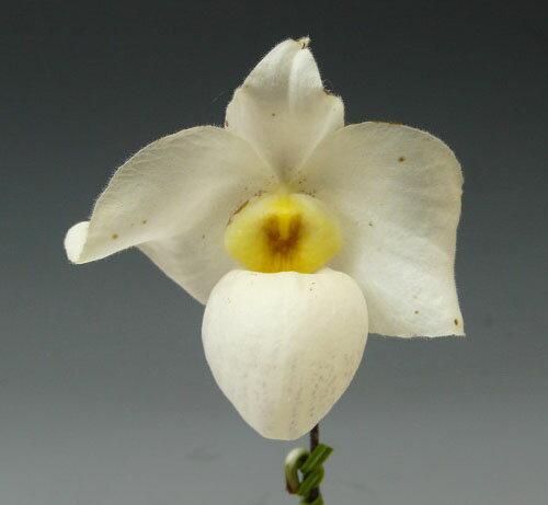 パフィオペディラム アルメニホワイトPaph.Armeni White (armeniacum x delenatii)【花なし株】【3号鉢 開花サイズ リーフスパン25cm】