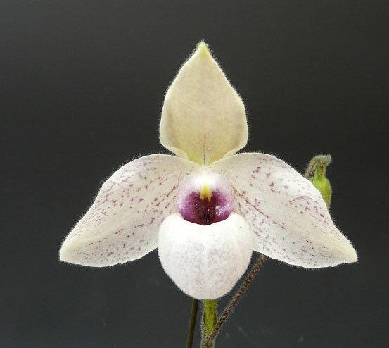 パフィオペディラム リンレイクーポウィッツPaph.Lynleigh Koopwitz (delenatii x malipoense)【花なし株】【芳香性】
