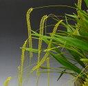 デンドロキラム フィリフォルメDend.filiforme【花なし株】【耐寒性】【原種】【芳香性】
