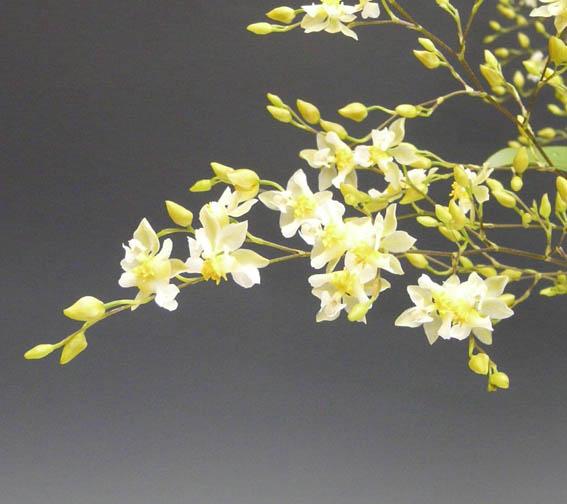 オンシジューム トゥインクル 'フレグランスファンタジー'Onc.Twinkle 'Fragrance Fantasy'【花なし株】【芳香性】