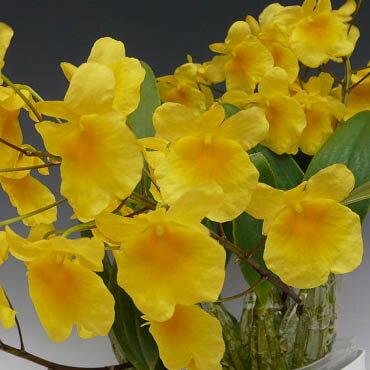 デンドロビューム アグレガタムDen.aggregatum (=Den.lindley)【花なし株】【原種】【耐寒性】