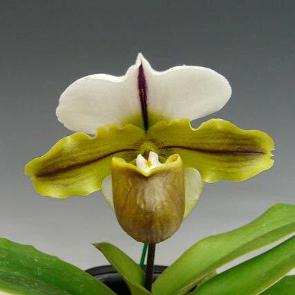 パフィオペディラム ブルーノ 'モデル'Paph.Bruno 'Model' AM/AOS(85) (Leeanum x spicerianum)【花なし株】【耐寒性】【中サイズ 1芽立ち】