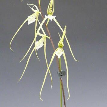 ブラシア ベルコーサBras.verucosa【花なし株】【原種】【芳香性】
