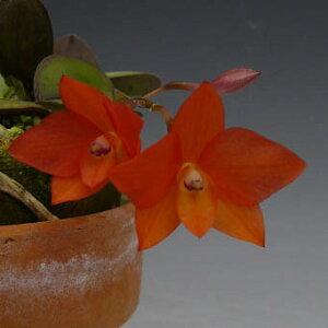 【花なし株】カトレアセルヌアC.(S.)cernua原種2.5号鉢10cm開花サイズ(BS)