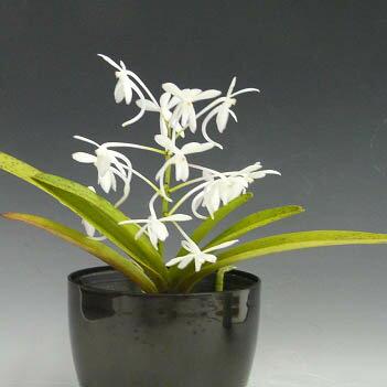 アスコフィネチア チェリーブロッサム ホワイトAscf.Cherry Blossum (White) (Neof.falcata x Ascm.amplaceum)【花なし株】【芳香性】【耐寒性】