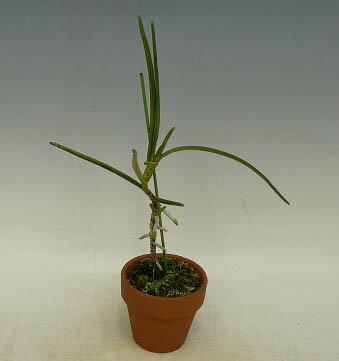 クレイソセントロン メリリアナムCleisocentron merrillianum【花なし株】【原種】