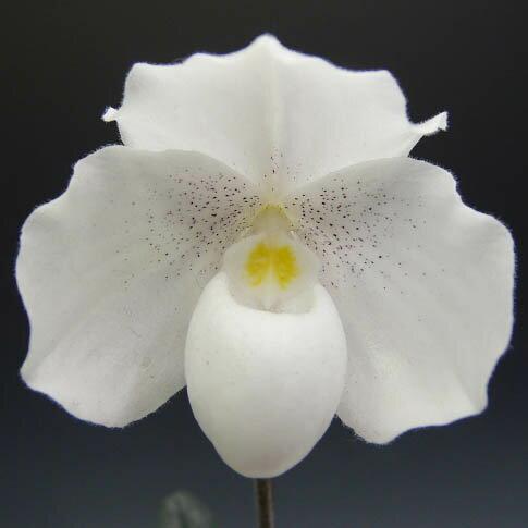 パフィオペディラム ニベウムPaph.niveum良個体のシブリング苗【花なし株】【原種】