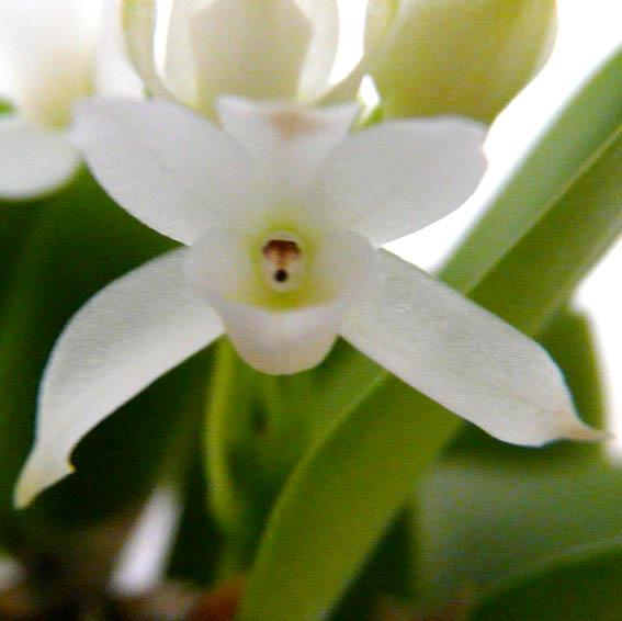 メイラシリウム ウェンドランディー アルバMrclm.wendrandii var. alba【花なし株】【原種】