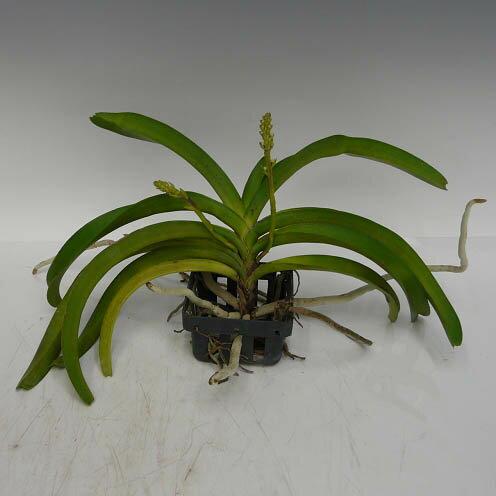リンコスチリス セレスチス アルバRhy.coelestis var. alba【花なし株】