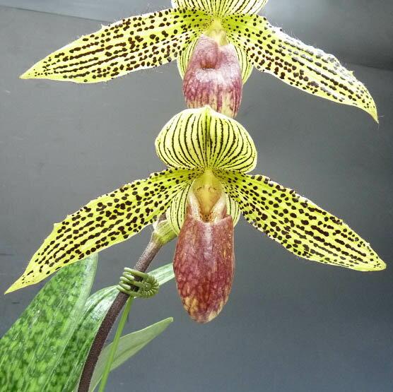 パフィオペディラム アイアンサステージPaph.Iantha Stage (rothschildianum x sukhakulii)【花なし株】