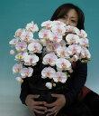 【光触媒】【造花】胡蝶蘭 大輪 さくらピンク(絞りピンク ぼかしピンク) M 5本立ち【送料無料】