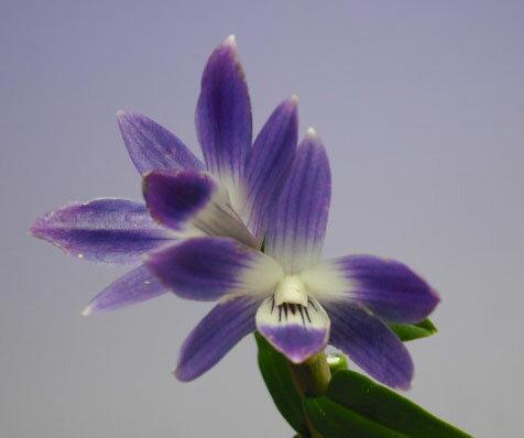 デンドロビューム ビクトリア レギネDen.victoria-reginae【花なし株】【原種】