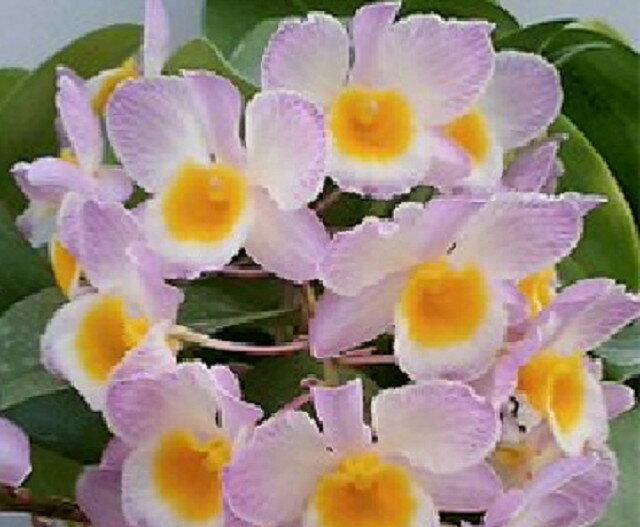デンドロビューム ファーメリーDen.farmerii (Pink)【花なし株】【耐寒性】【原種】