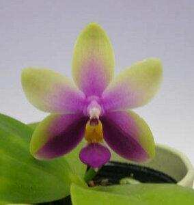 【花なし株】ファレノプシスビオラセアPhal.violacea(=Phal.bellina)原種芳香あり2.5号鉢25cm開花サイズ(BS)