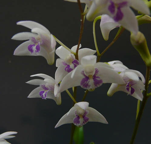デンドロビューム キンギアナム シルコッキーDen.kingianum var. silcockii【花なし株】【原種】【芳香性】【耐寒性】
