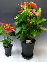 アンスリウム 赤 Anthurium10号鉢(尺鉢)(特大サイズ) 黒丸鉢 受け皿付き セラアート鉢【観葉植物】【送料無料】【ギフト対応】