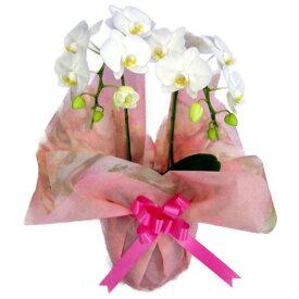 ミディ胡蝶蘭 アマビリス 2本立ち 15輪以上 選べる2色(白・さくら色ピンク)+ミックス 花 ギフト