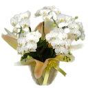 ミディ胡蝶蘭 アマビリス 白 5本立ち 35輪以上