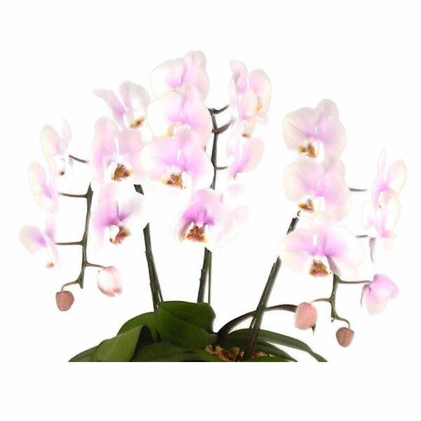 ミディ胡蝶蘭 桜ピンク 7本立ち 50輪以上 時期によって品種が変わるため花の色は多少かわります