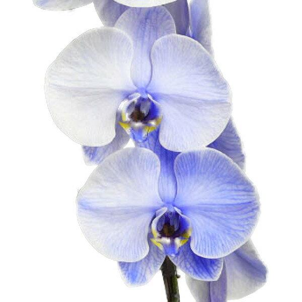 胡蝶蘭 大輪 パープルエレガンス 紫 8本立ち