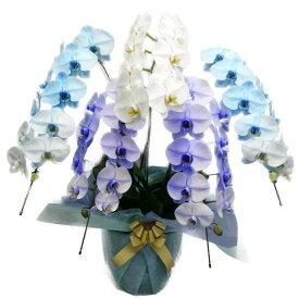胡蝶蘭 大輪 ブルーエレガンス パープルエレガンス 青 紫 白 5本立ち