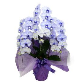 胡蝶蘭 大輪 パープルエレガンス 紫 3本立ち