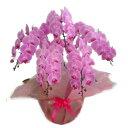 胡蝶蘭 大輪 ピンク 5本立ち 60輪以上
